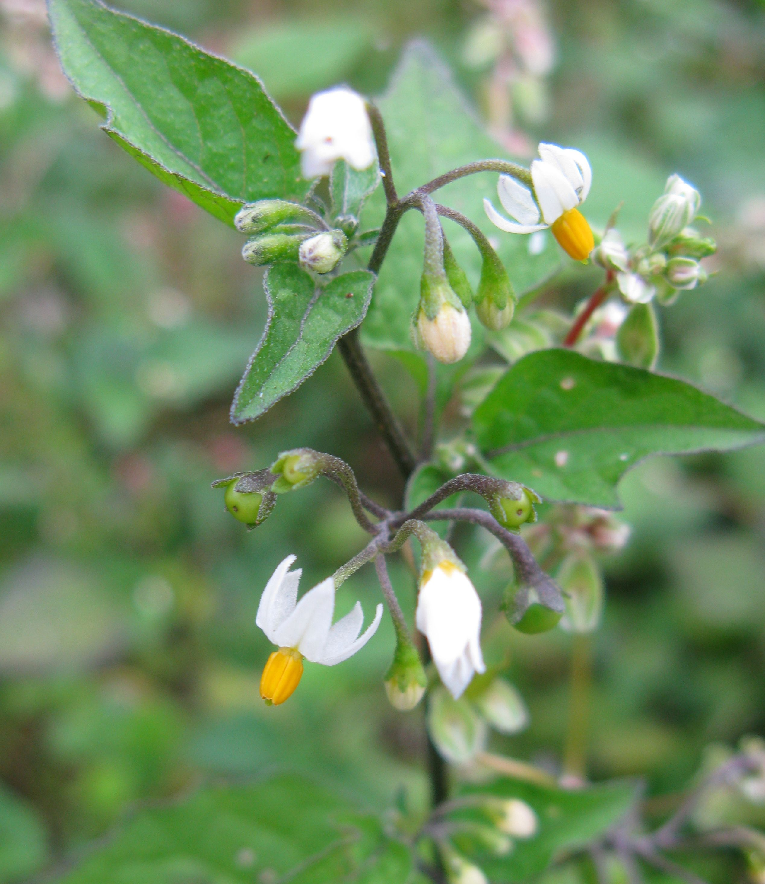 Solanum nigrum - Zwarte nachtschade