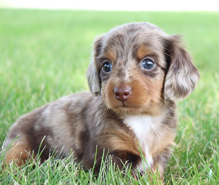Breed Miniature Dachshund Gender Male Registry Akc Personality