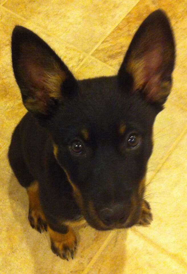 German Shepherd Doberman Mix Only 2 Months Old Archer With