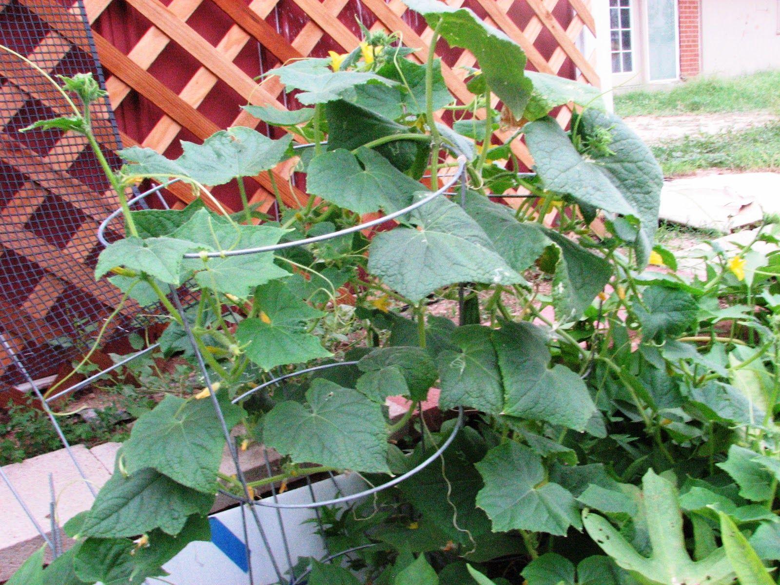 Free Plant Identification Plants Cucumber Plant Plant 400 x 300
