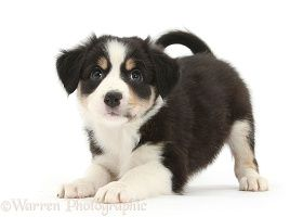 Tricolour Border Collie Pup In Play Bow Border Collie Puppies