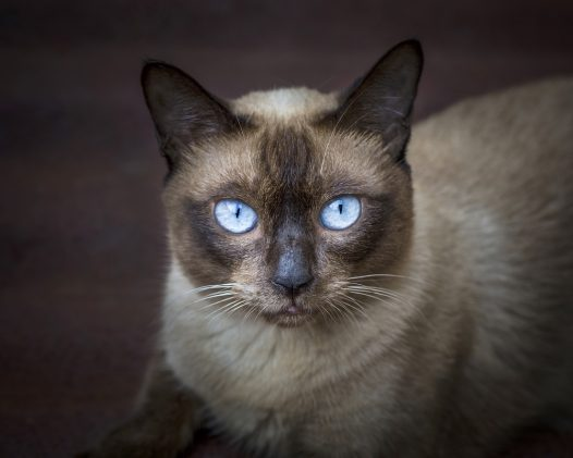 Ojos Azules Cat Breed Health, Grooming, Colors and Traits