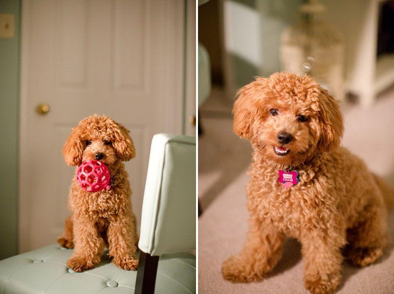 Bichpoo Puppies 365 Poochon Dog Crazy Dog Lady Bich Poo