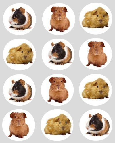 """12 Guinea Pig design rice paper fairy / cup cake 40mm toppers pre cut cake decoration - Edible paper cake toppers are the easiest and very best way to give your fairy or cup cakes that final finishing touch . You make the cakes Let us """"Simply Topp"""" It for you.  - http://irishcakesupplies.com/wp-content/uploads/2013/12/51hAnDmo0QL.jpg - #12, #Design, #FAIRY, #Guinea, #Paper, #Pig, #Rice  - http://wp.me/p2Sdif-4u8"""