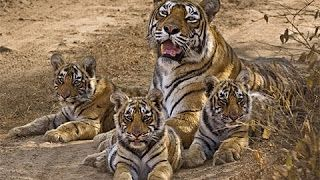 #Machali Queen of #Tigers! Amazing Clips and The Best Documentaries About an Iconic #Wild Tigress!