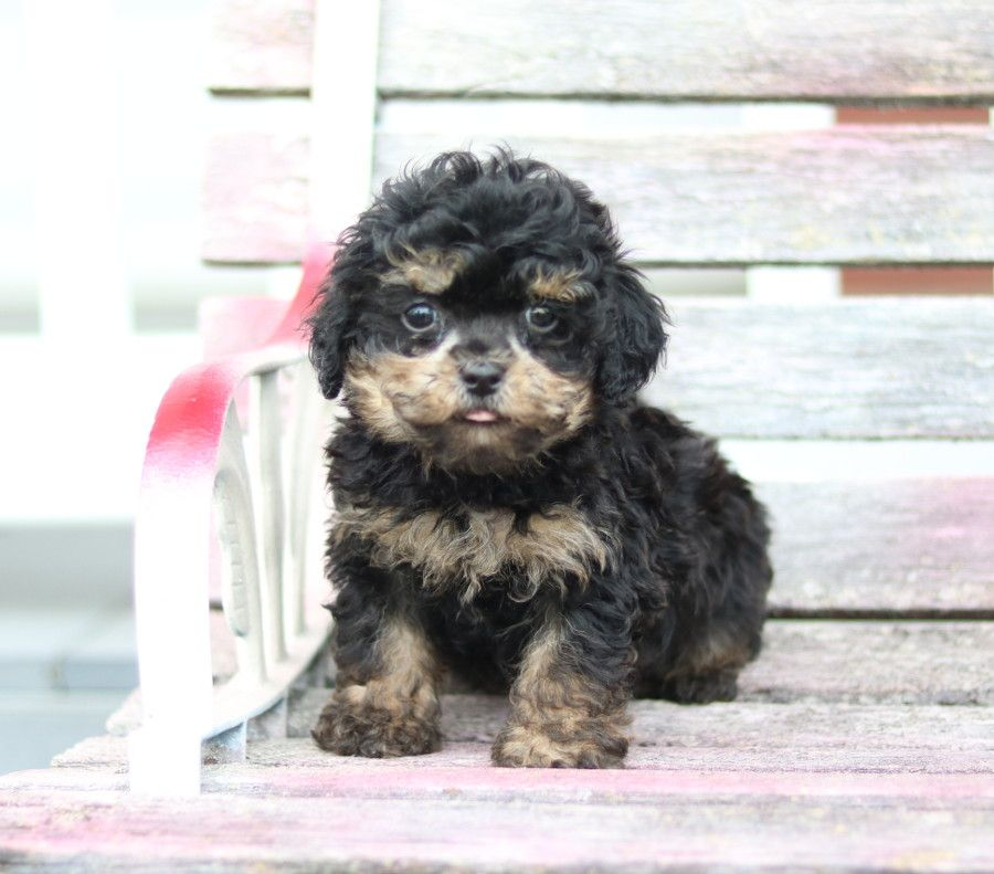 Puppies For Sale Havapoo Puppies Dog Friends Puppies
