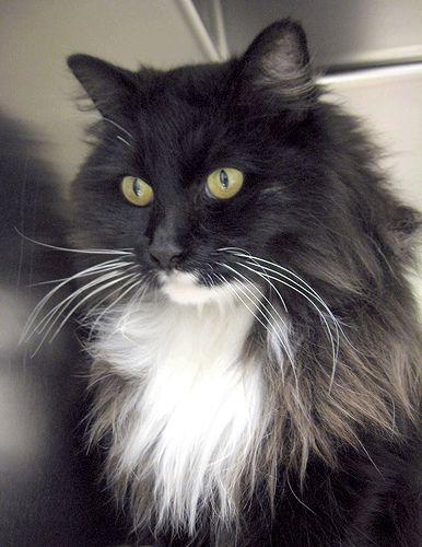 American Domestic Long Hair Cat Breeds