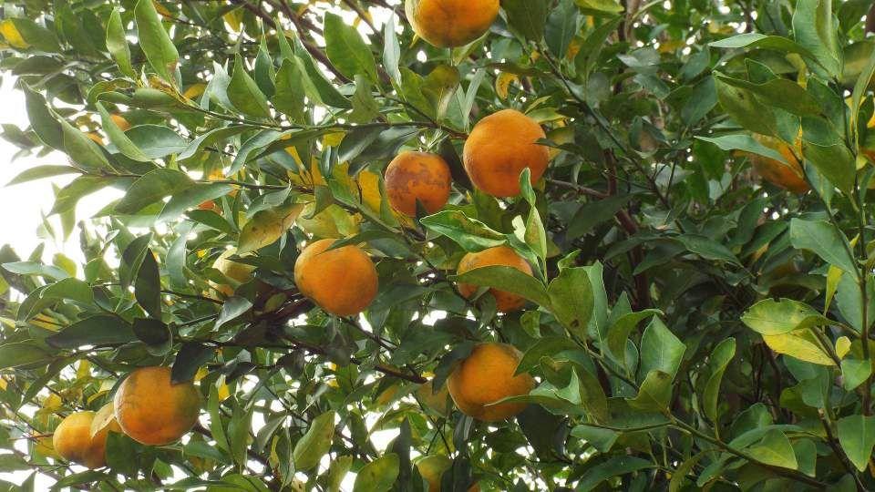 Des Iles Canaries à l'Orient, la bergamote est d'origine incertaine et alimente quelques légendes. En effet, on dit qu'elle nous montrerait, à la pleine...