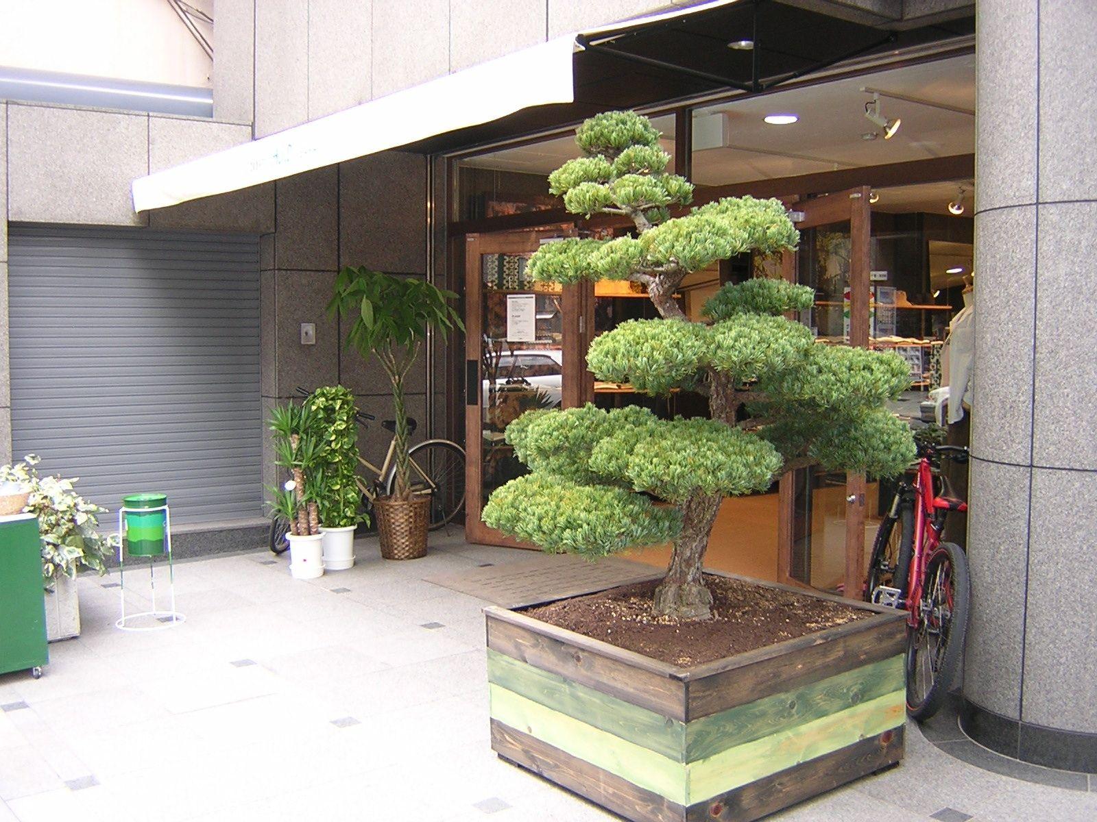 Pine trees of Japan Flowerpot. Original production Standard Works .