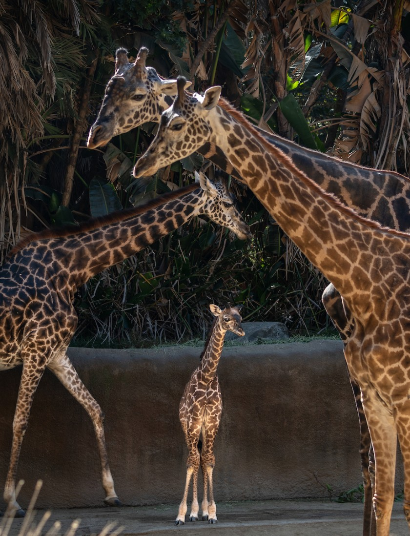 That New Baby Giraffe At The L A Zoo It Was 6 Feet Tall At Birth In 2020 Baby Giraffe Giraffe Most Endangered Animals