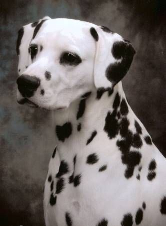 Reward 7 Yr Male Dalmatian Conroe Crosby Tx Area Dalmatian Went Missing When His Owner Was Hospitalized In December 2013 Dalmatian Dogs Dogs Loyal Dogs