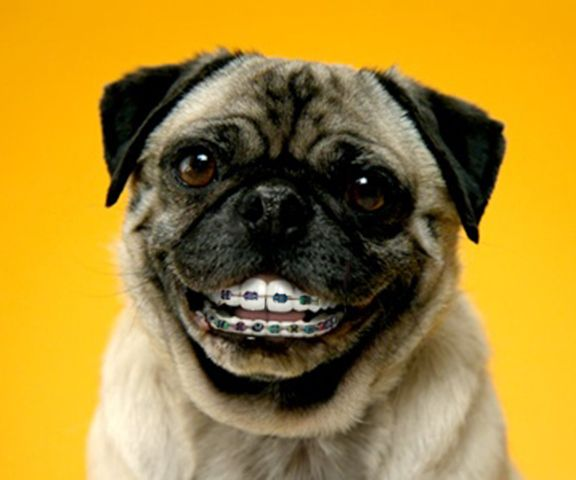 This Dog Dog With Braces Smiling Dogs Pugs