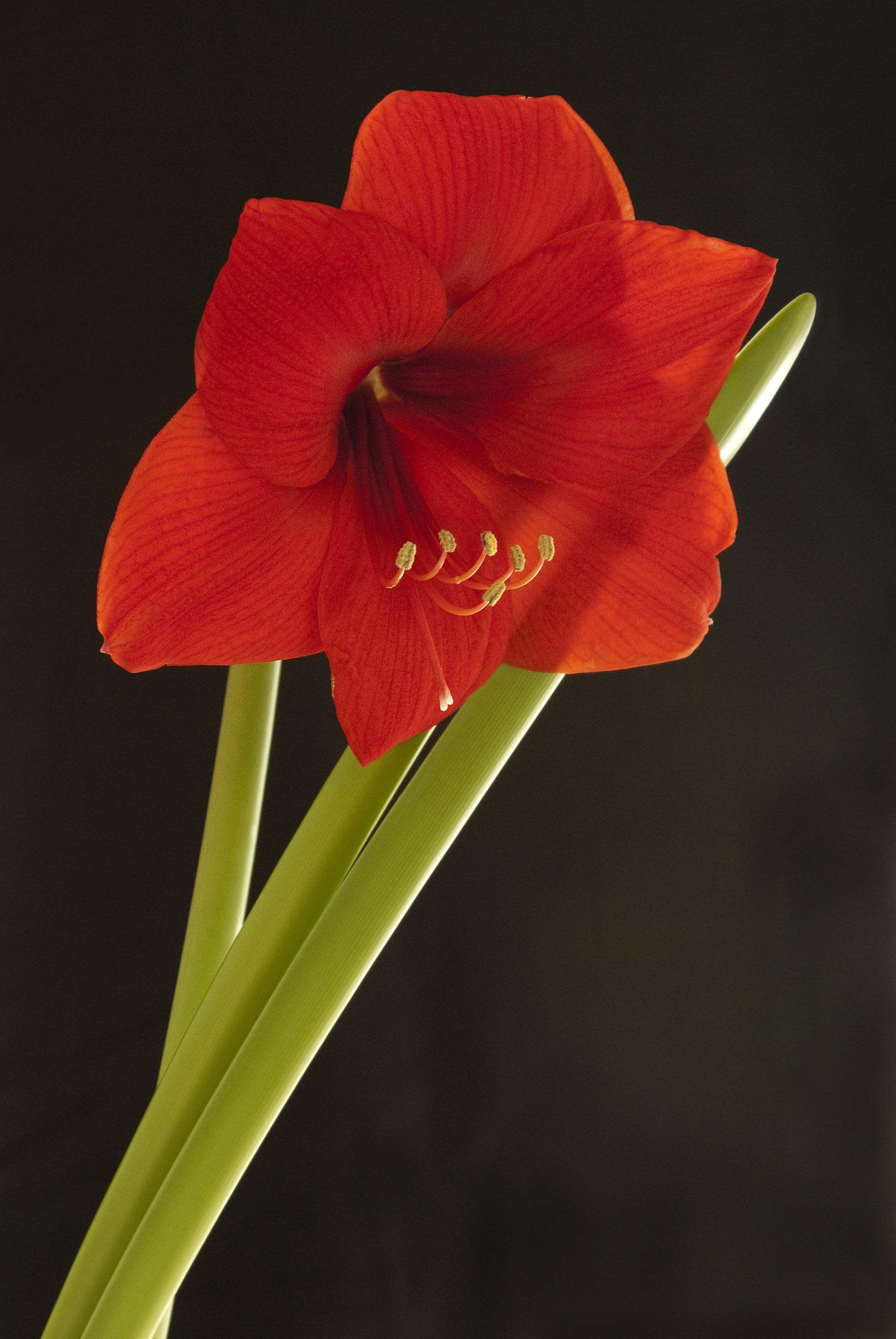 Amarillus Phs Loves Gardeners Phsgardening One Bloom Pinterest