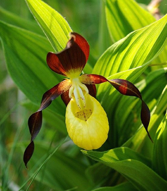 british wild flowers ladys slipper orchid the beauty