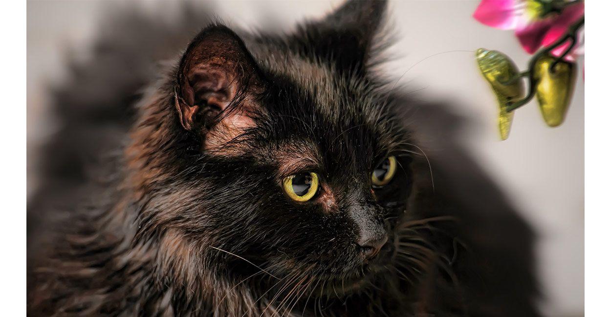 Chantilly Cat Chantilly Cat Best Cat Breeds Cat Breeds