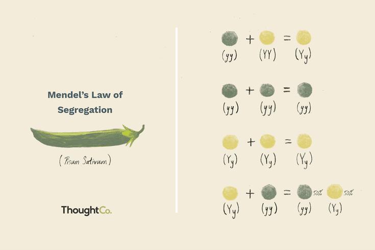 What Is Mendel S Law Of Segregation Teaching Biology Law Biology