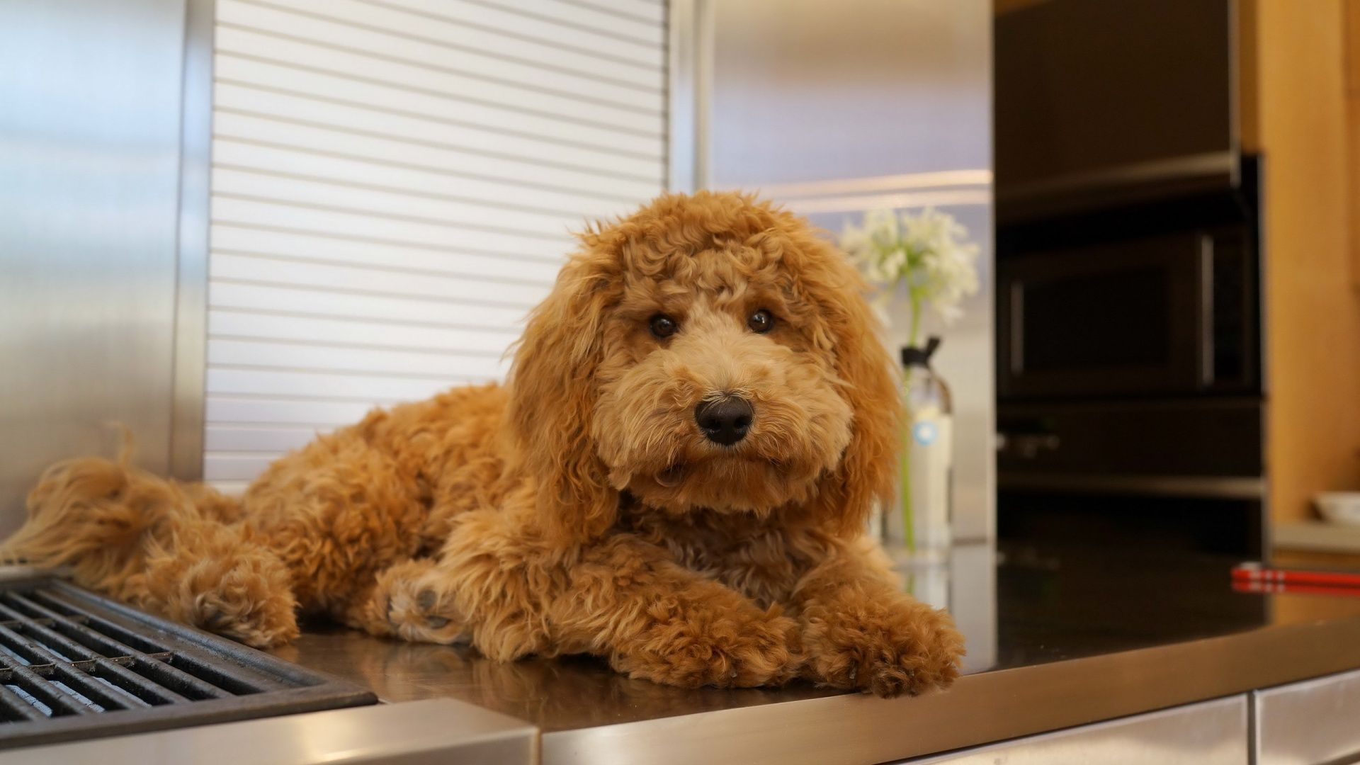 Dog in the kitchen animals wallpapers pinterest dogs the o