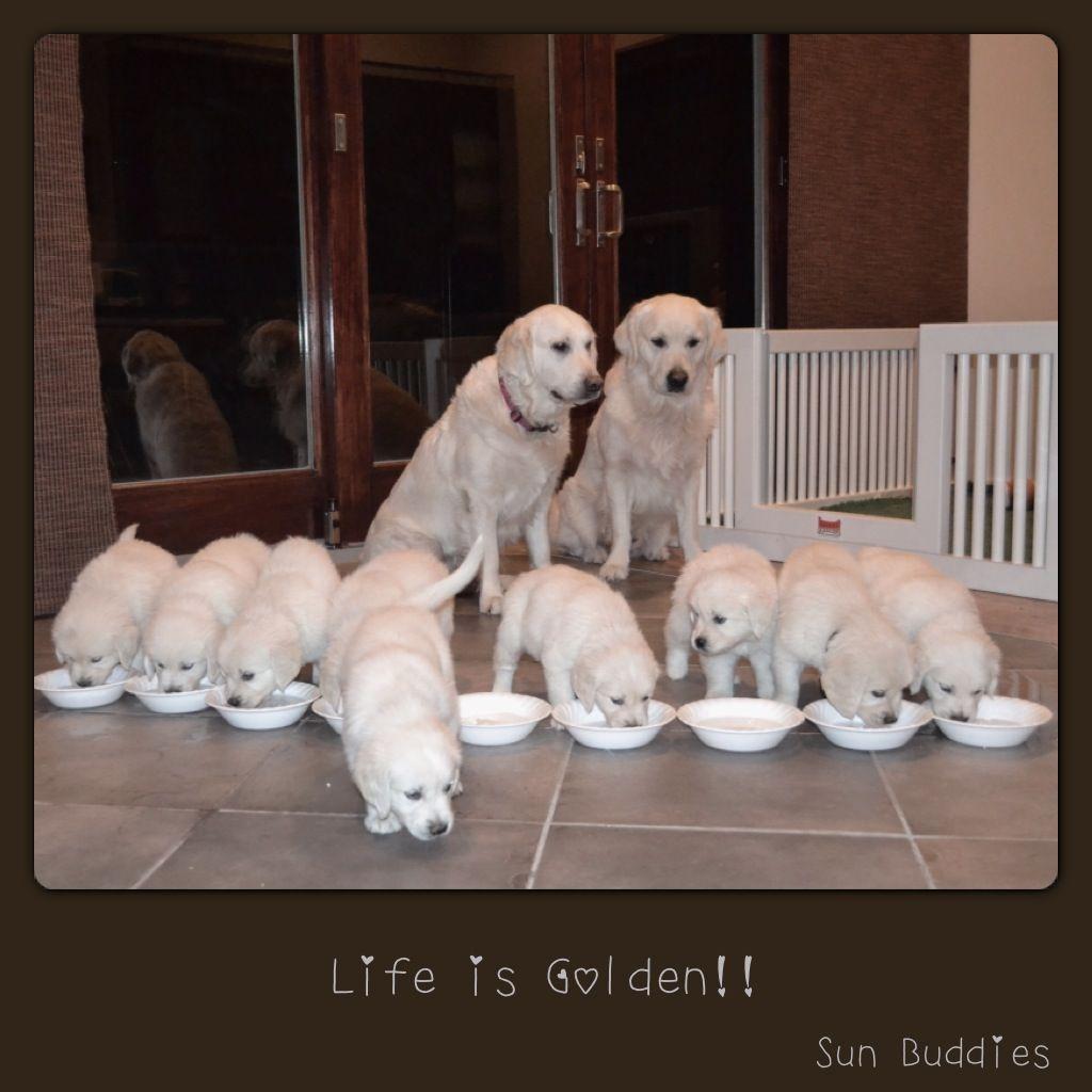 Available English Cream Golden Retriever Puppies Retriever