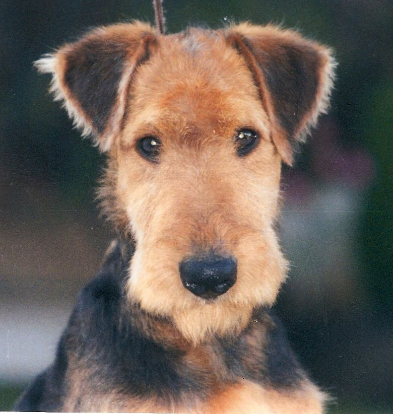 Gorizia S Melody Airedale Dogs Cute Dogs And Puppies Terrier