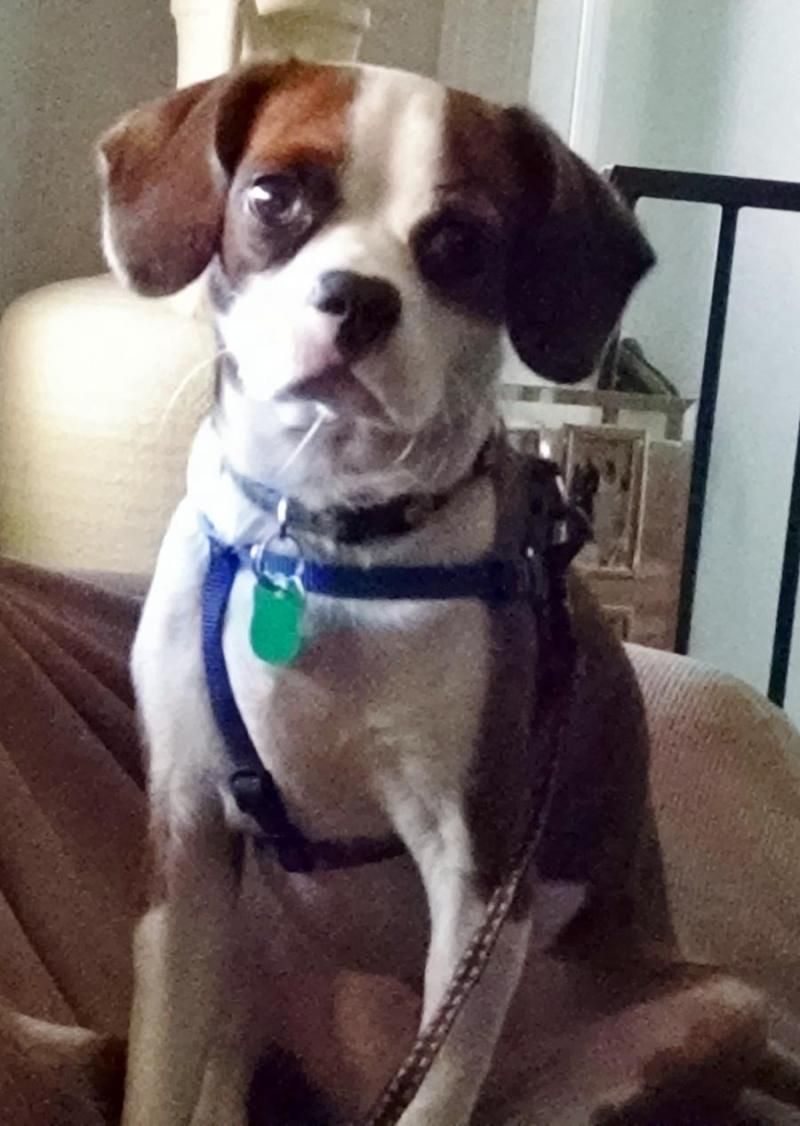 Wally (Enterprise, FL) is an adoptable Cavalier King Charles Spaniel searching for a forever family near Rockledge, FL. Use Petfinder to find adoptable pets in your area.