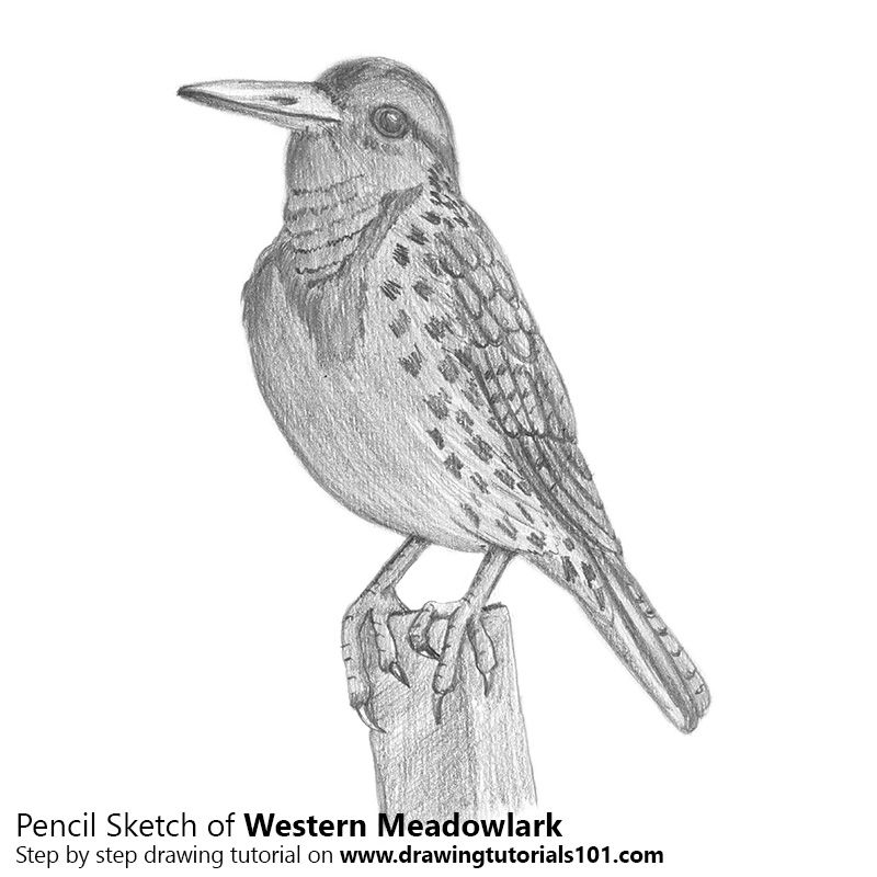 Western Meadowlark With Pencils Pencil Drawings Drawings