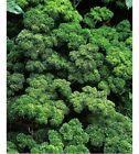 Persille krus. Frø/ stor plante
