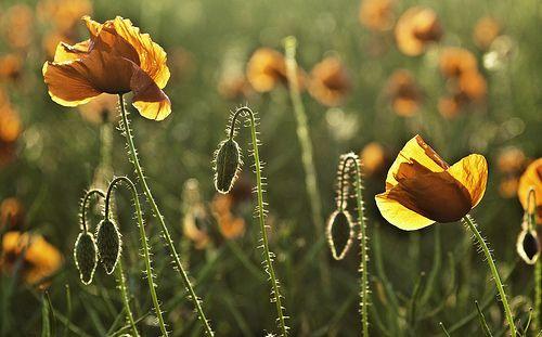 Mohnblume Mohnblume Blumen Und Mohn
