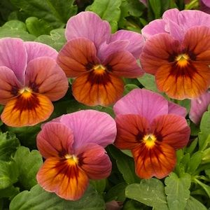 An09186 Velour Lilac Bronze Viola Seeds Lavender Lilac With A