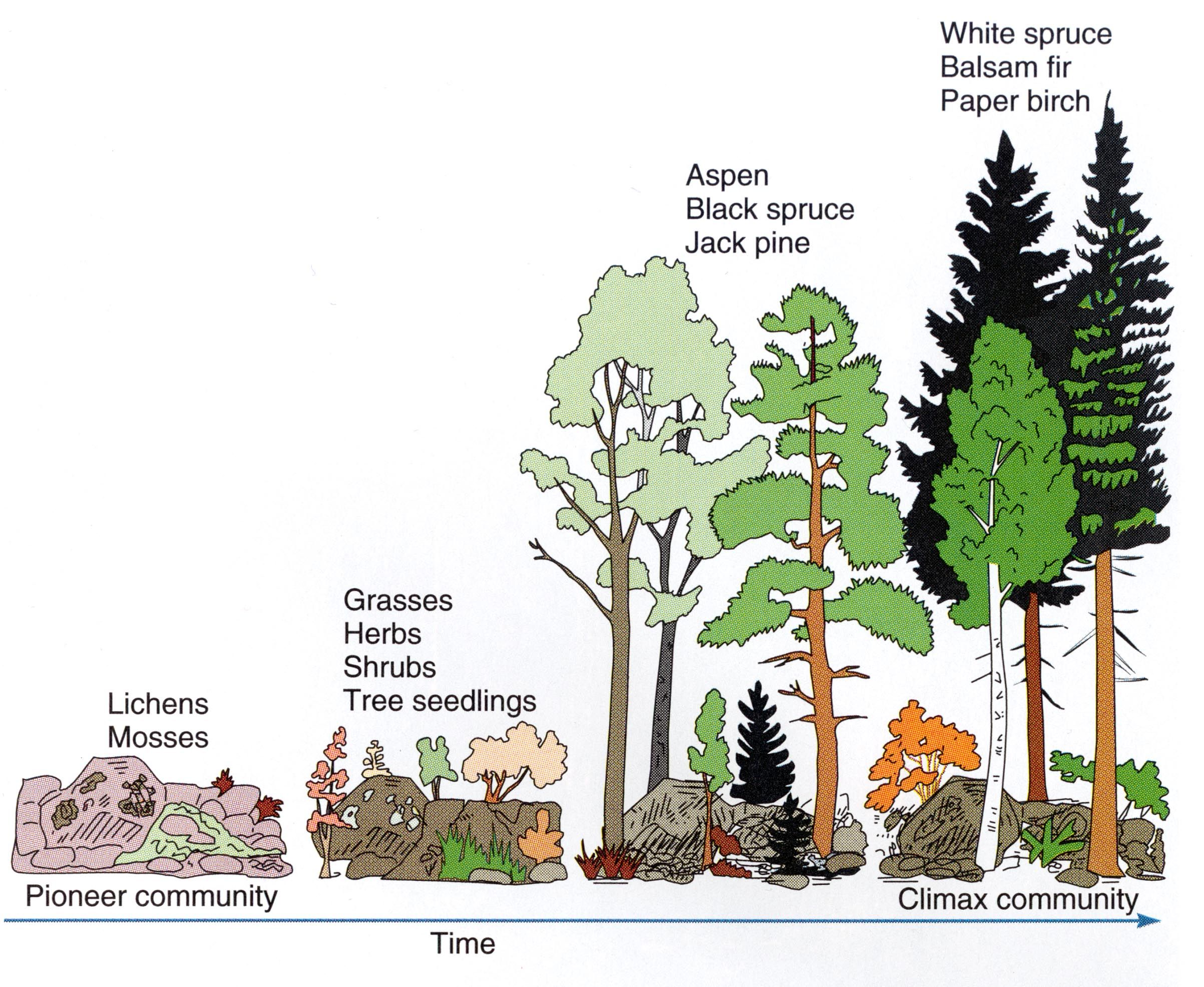 Ecological Succession Teks 7 10 C Diagram
