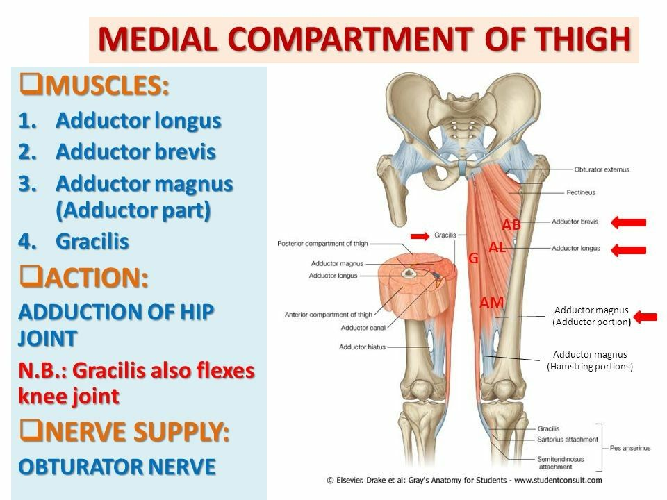 Medial compartment of thigh muscles pinterest medial compartment of thigh ccuart Gallery