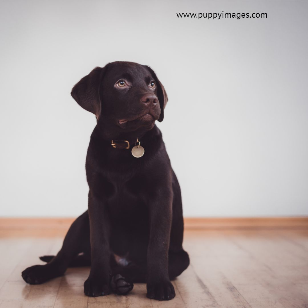 Chocolate Labrador Puppy Sitting Down Labrador Puppy Labrador Puppy Chocolate Puppy Sitting