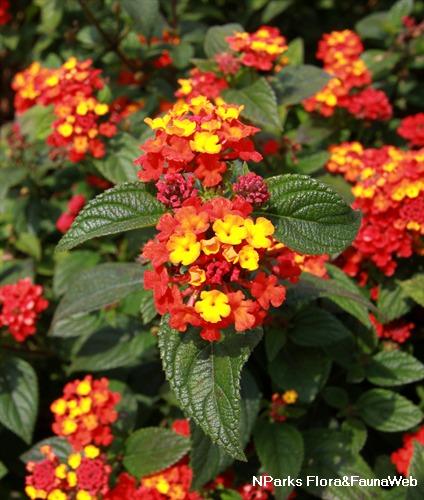 Lantana Camara Hybrida Flower Jardim