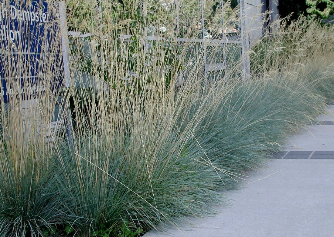 Helicotrichon sempervirens sapphire blue oat grass for Ornamental grass with blue flowers