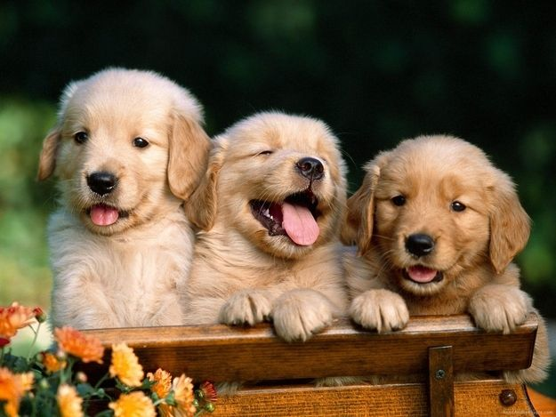 The laugh!   Community Post: 15 Reasons Why Golden Retrievers Are The Best Dogs Ever