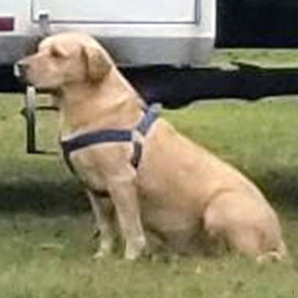 Back Home Dog Chesapeake Bay Retriever Pemberville, OH