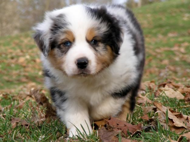 Australian Shepherd Information And Pictures Petguide Aussie