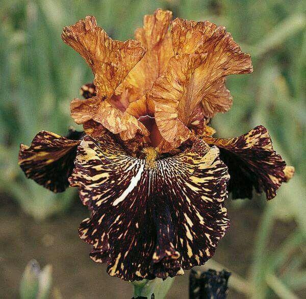 Spiced Tiger Iris Flowers Iris Garden Bearded Iris