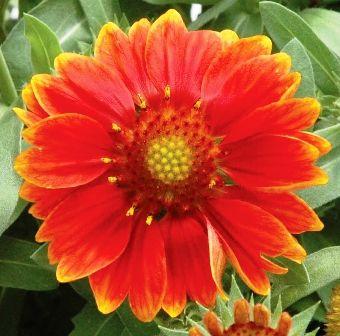Gaillardia aristata 'Gallo Orange'
