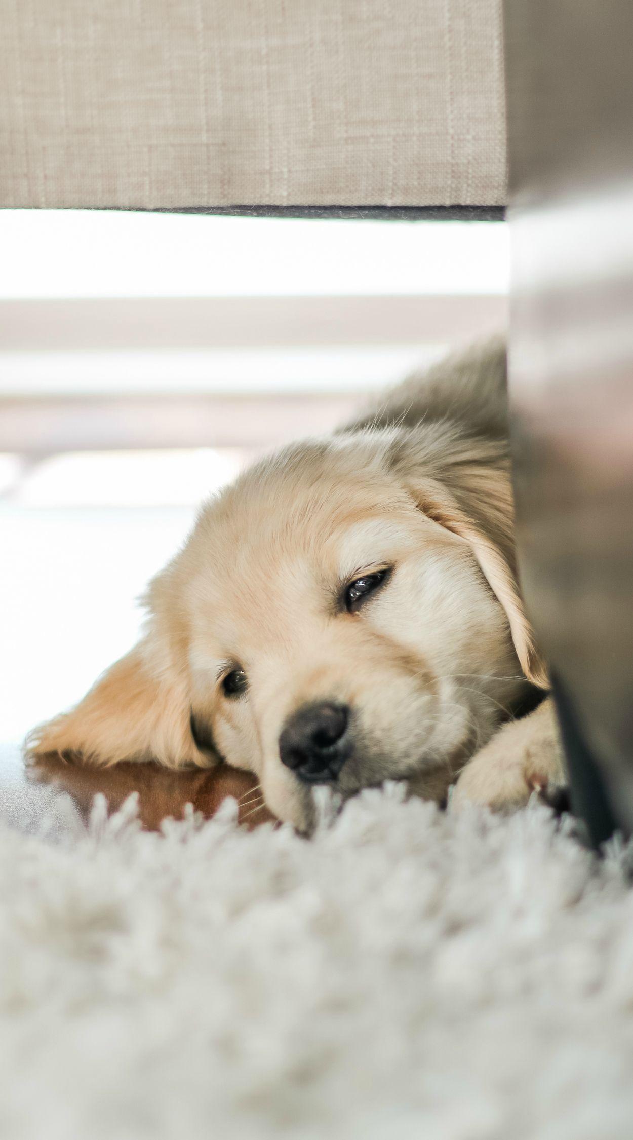 The World S Cutest Little Golden Retriever Puppy She S Half