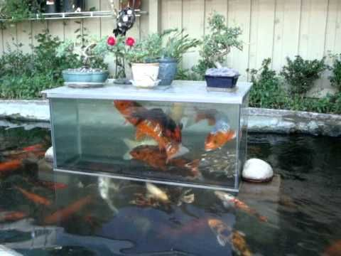 Koi fish play in bottomless fish tank landscape for Koi tank size
