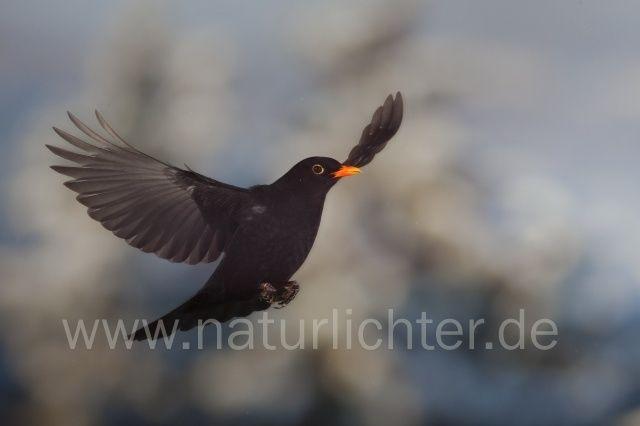 R4789 Amsel Im Flug Vogel Im Flug Flug Bilder