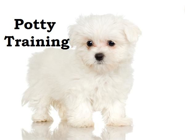 Maltipoo Puppies How To Potty Train A Maltipoo Puppy Maltipoo