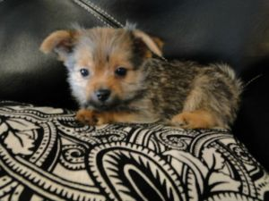 Yorkie Pom 1 Male Left Saskatoon Dogs Puppies For Sale