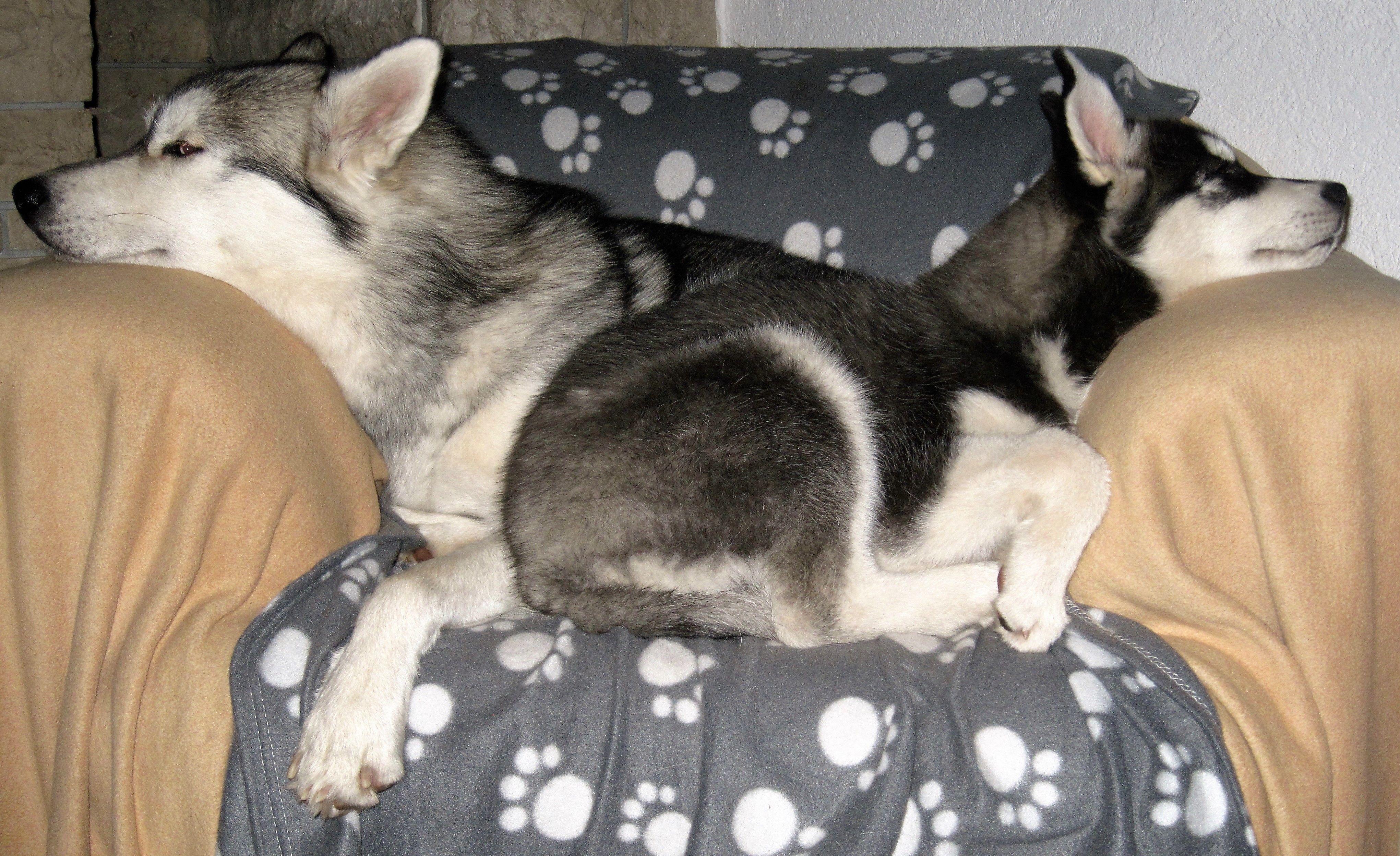 Pin By Deena Ronchetti On My Kind Of Babies Siberian Husky Husky Puppy Husky