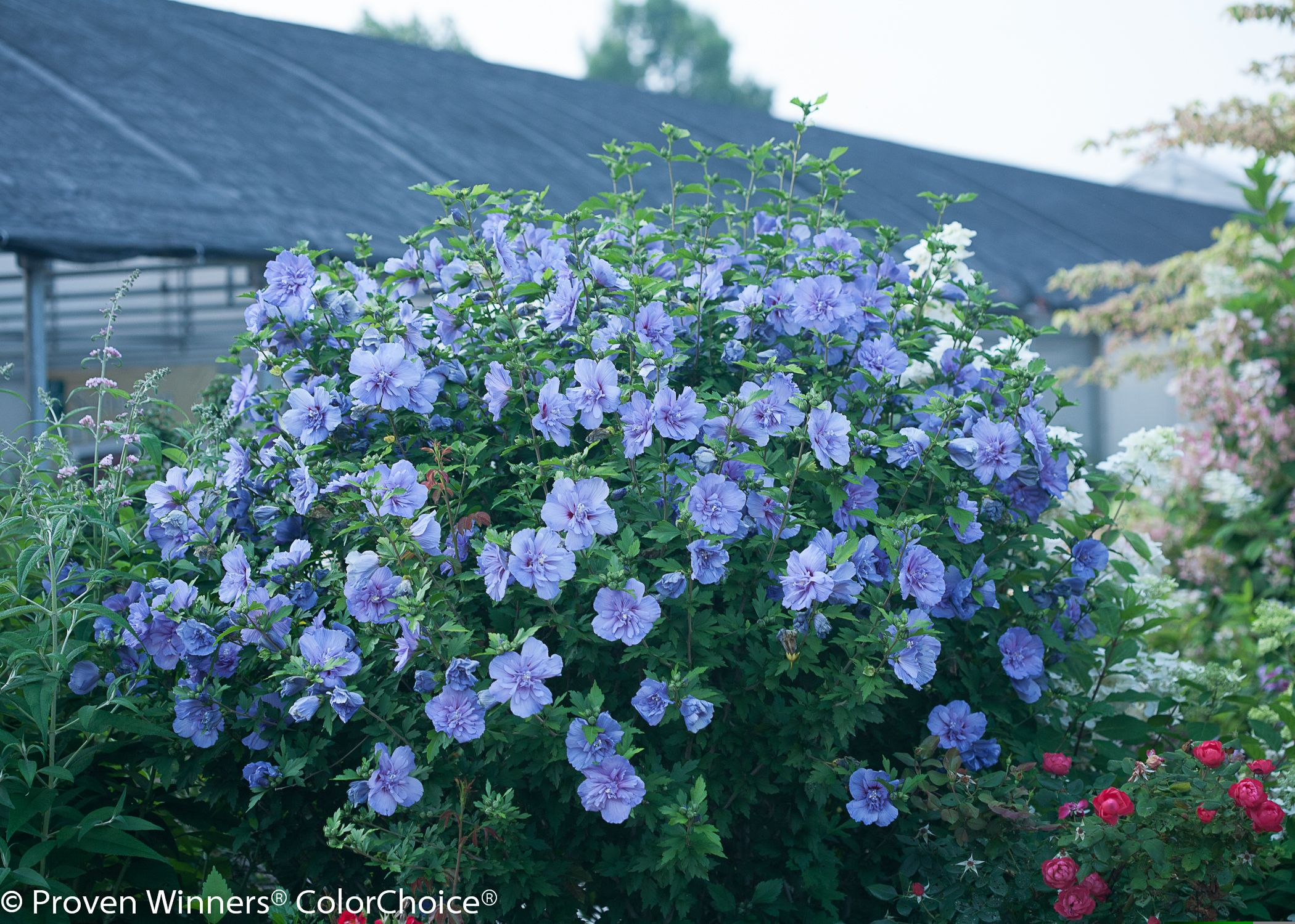 Blue Chiffon Rose Of Sharon Is A Deciduous Shrub With Outstanding