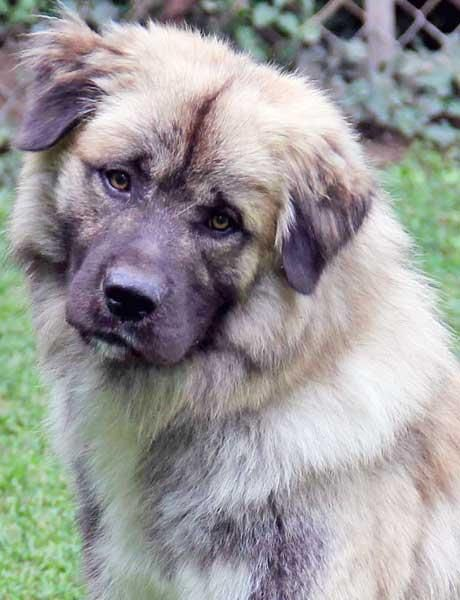 Adopt Gabriel Adopted On Great Pyrenees Beautiful Dogs Pets