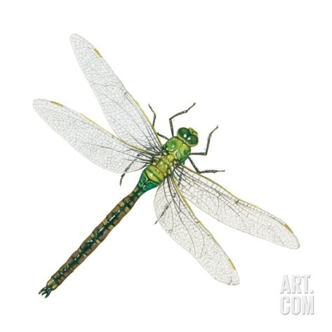 Dragonflies Eye Diagram Electricity Meter Wiring Another Fact Is That Adult Will Devour Just About Anything They Can Catch Usually Eat Mosquitoes Bees Gnats