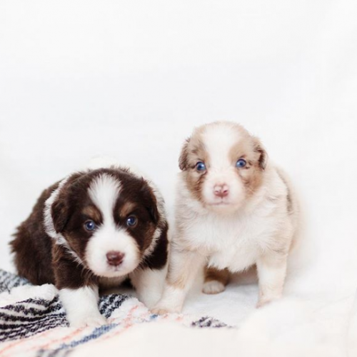 Adopt A Purebred Miniature Australian Shepherd Puppy Today Vip Puppies Works With Dog Miniature Australian Shepherd Australian Shepherd Dog Breeder