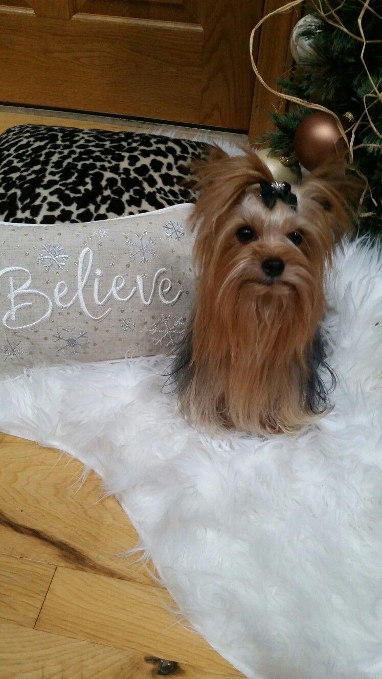 Believe in love yorkie luv yorkshire terrier teacup