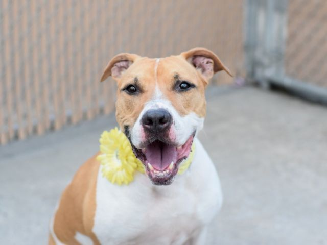 FOXY - A1076157 - - Brooklyn TO BE DESTROYED 06/15/16**AVERAGE RATED BEAUTY** If ever there was a girl who sounded like an ideal, loyal pet, it would be this foxy girl. And clearly her owners thoughts so too – for the first seven years of her life, that is, until they decided they no longer had time for her. She has been loved and cared for, as evidenced by her microchip, a complete description of what she does and does not know and like left in her shelter notes, an